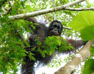 orangutan by AFP